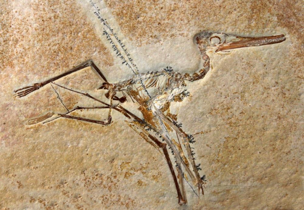 プテロダクティルス(Pterodactylus)   恐竜図鑑